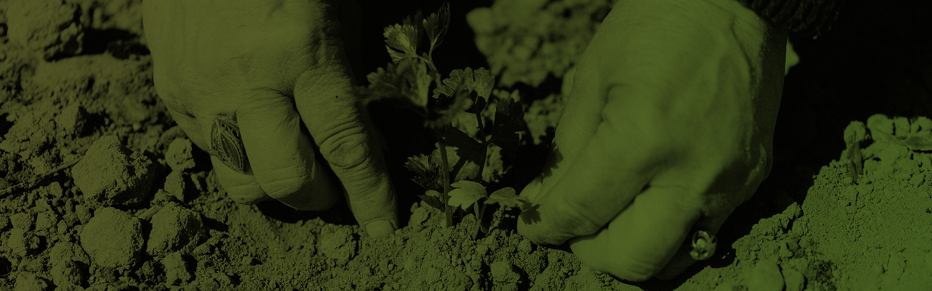 Stock photograph, tinted green showing hands planting parsley in dry sandy soil